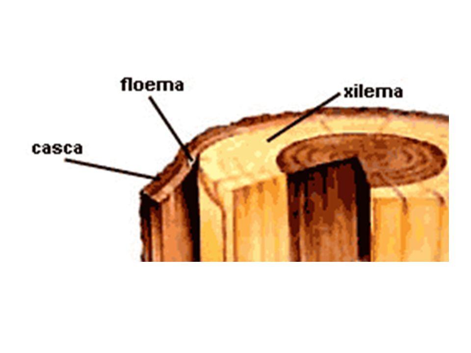 xilema cerne No caule, o xilema realiza o crescimento em espessura (crescimento secundário), em razão da inativação do mecanismo de transporte de seiva bruta nas camadas centrais, formando o cerne.