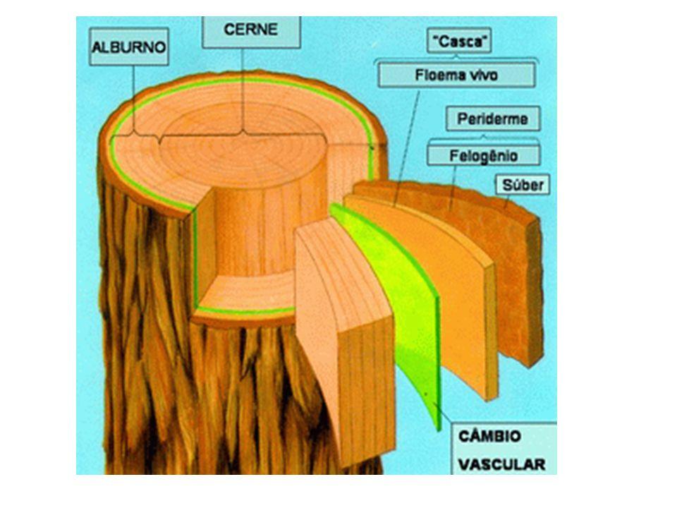 Casca parte exterior, correspondente ao súber, responsável pela proteção do tronco.