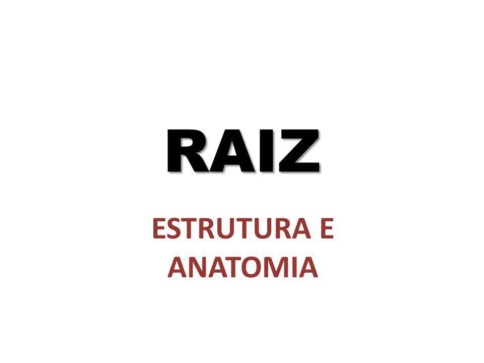 RAIZ ESTRUTURA E ANATOMIA