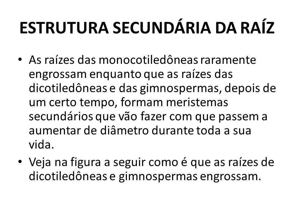ESTRUTURA SECUNDÁRIA DA RAÍZ As raízes das monocotiledôneas raramente engrossam enquanto que as raízes das dicotiledôneas e das gimnospermas, depois d