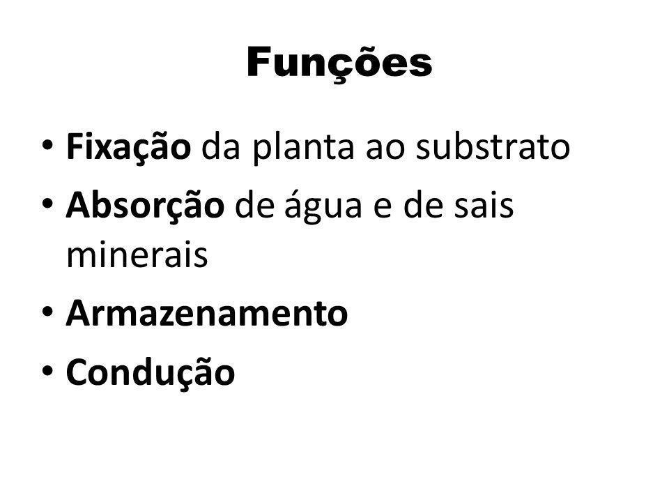 Funções Fixação da planta ao substrato Absorção de água e de sais minerais Armazenamento Condução