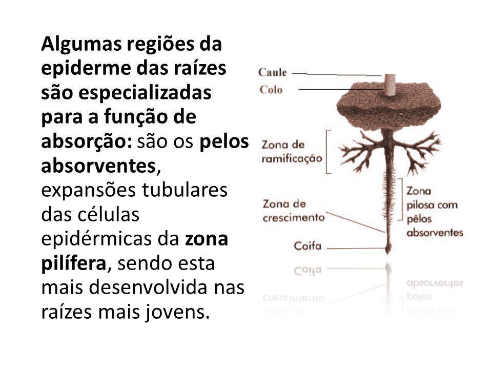 Algumas regiões da epiderme das raízes são especializadas para a função de absorção: são os pelos absorventes, expansões tubulares das células epidérm