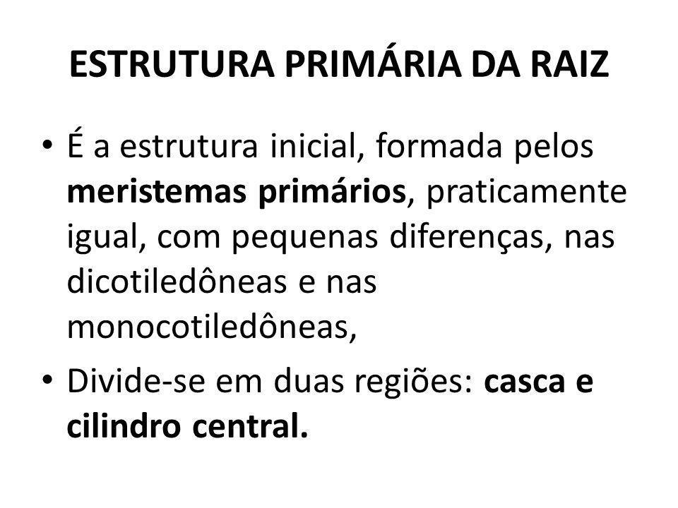 ESTRUTURA PRIMÁRIA DA RAIZ É a estrutura inicial, formada pelos meristemas primários, praticamente igual, com pequenas diferenças, nas dicotiledôneas