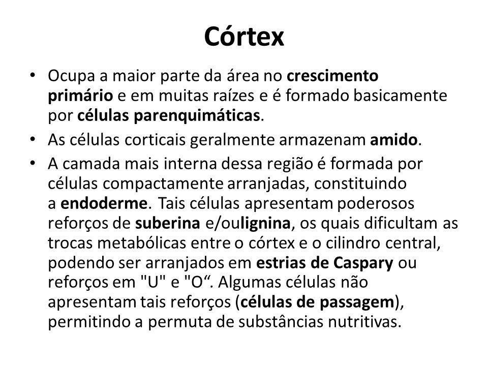Córtex Ocupa a maior parte da área no crescimento primário e em muitas raízes e é formado basicamente por células parenquimáticas. As células corticai