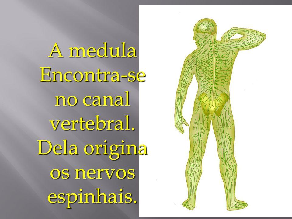 Sistema Nervoso Central 1. Cérebro – é responsável pela interpretação da sensibilidade, pensamento, idéia, memória, locomoção, outros. 2. Cerebelo – p
