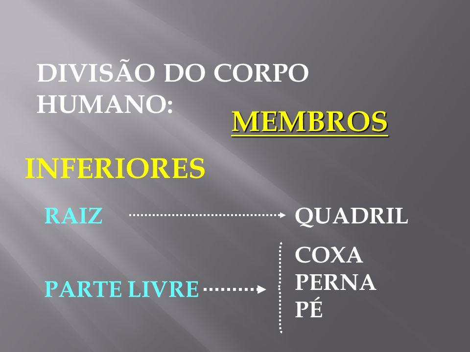 DIVISÃO DO CORPO HUMANO: MEMBROS SUPERIORE S RAIZOMBRO BRAÇO ANTEBRAÇO MÃO PARTE LIVRE