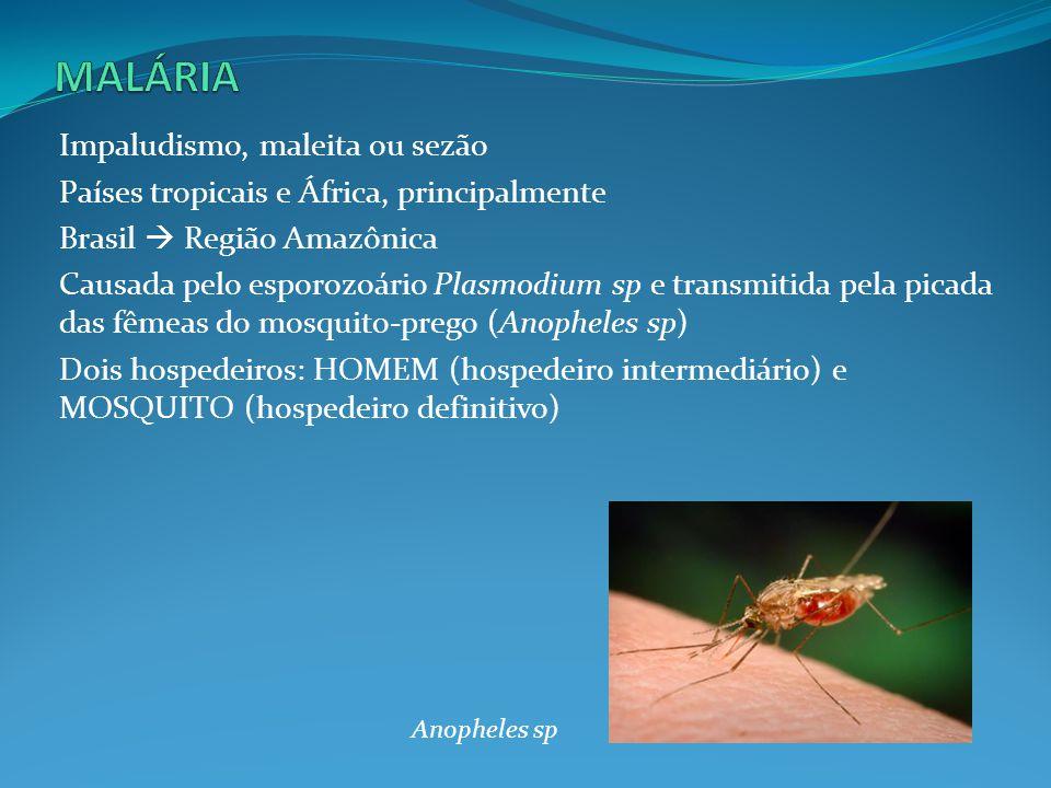 1.Pela picada, penetram no sangue os ESPOROZOÍTOS, a forma infectante do Plasmodium 2.