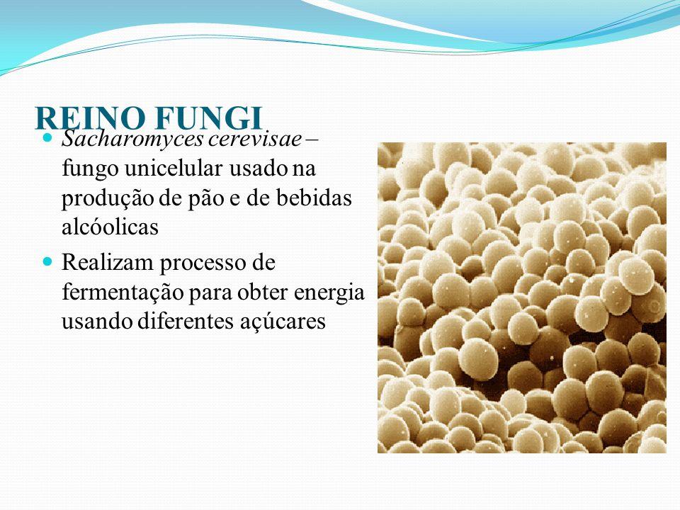 REINO FUNGI Penicillium crysogeum- pode ser encontrado em alimentos e ambientes internos Responsável pela produção de penicilina São importantes alérgenos humanos