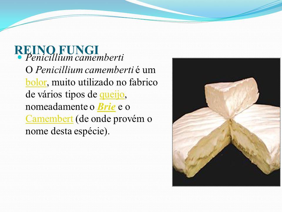 REINO FUNGI Penicillium glaucum Penicillium glaucum é um bolor que é utilizado na elaboração de vários tipos de queijos, incluindo o queijo francês Bleu, Fourme d Ambert, Gorgonzola e Stilton.