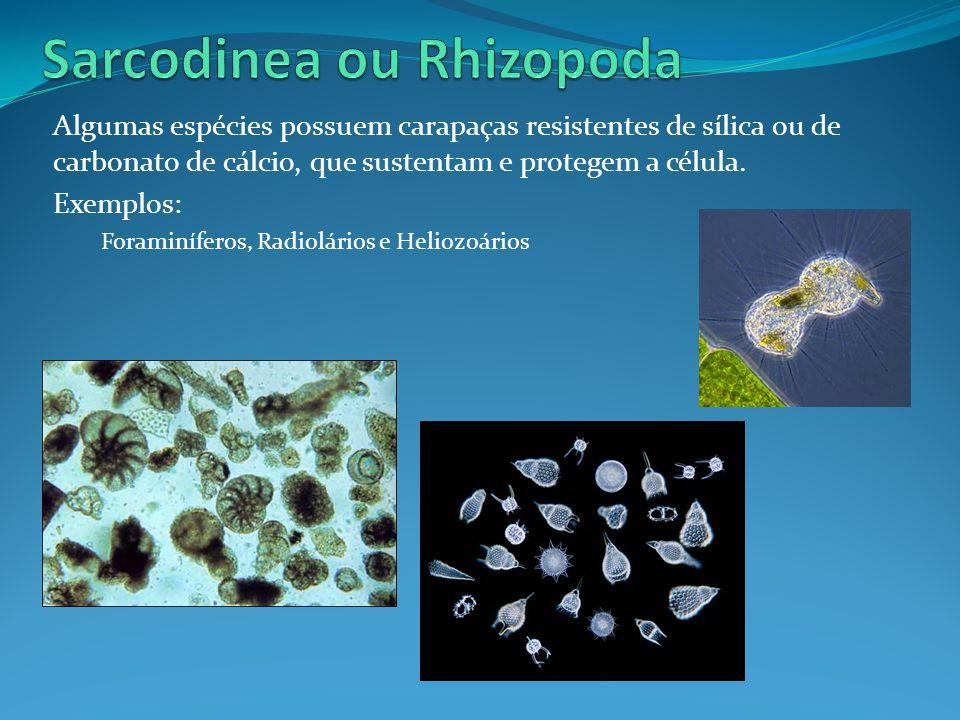 Algumas espécies possuem carapaças resistentes de sílica ou de carbonato de cálcio, que sustentam e protegem a célula.