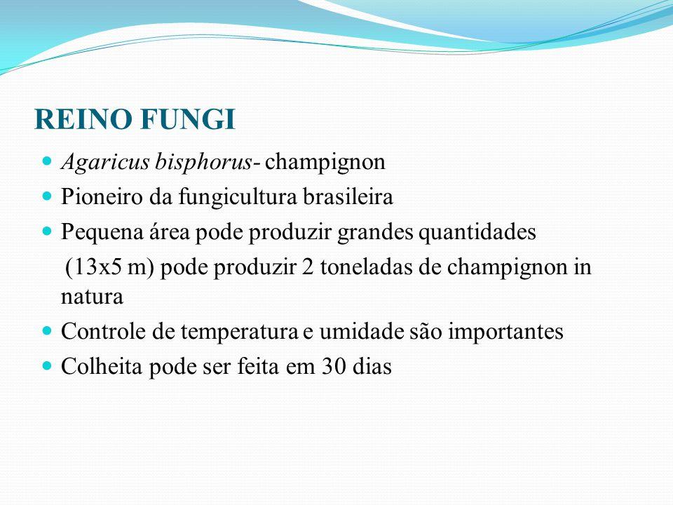 Agaricus bisphorus