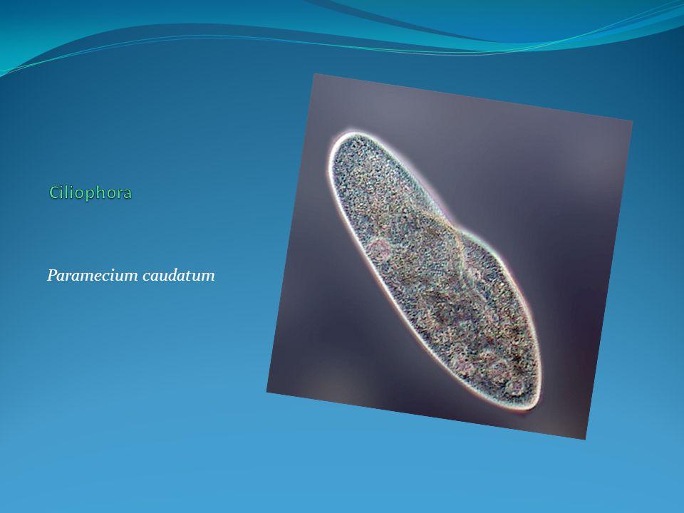 Citóstoma Sulco Oral Macronúcleo Micronúcleo Vacúolo Pulsátil