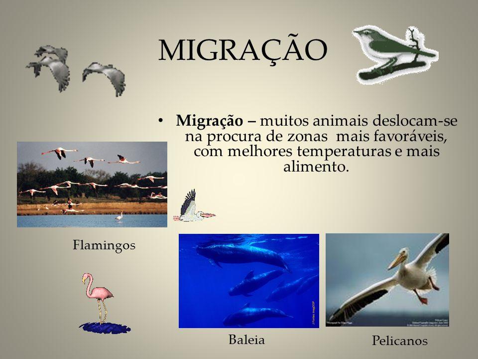 Flamingos Baleia Pelicanos MIGRAÇÃO Migração – muitos animais deslocam-se na procura de zonas mais favoráveis, com melhores temperaturas e mais alimen