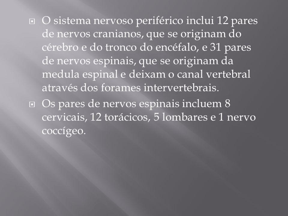 O sistema nervoso periférico inclui 12 pares de nervos cranianos, que se originam do cérebro e do tronco do encéfalo, e 31 pares de nervos espinais, q