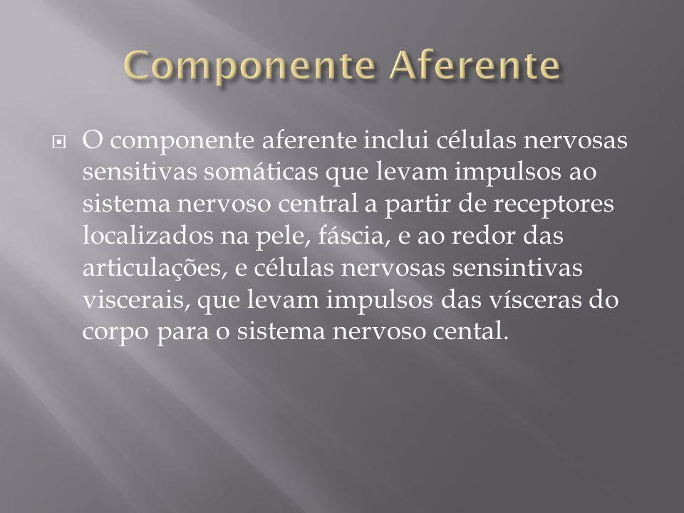O componente aferente inclui células nervosas sensitivas somáticas que levam impulsos ao sistema nervoso central a partir de receptores localizados na