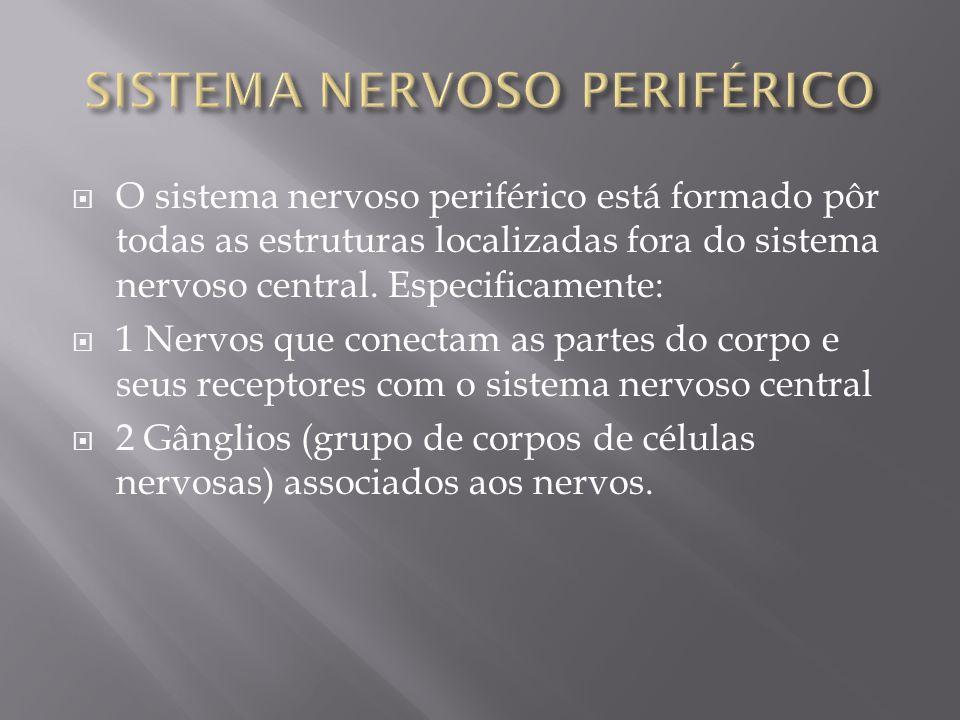 O sistema nervoso periférico está formado pôr todas as estruturas localizadas fora do sistema nervoso central. Especificamente: 1 Nervos que conectam