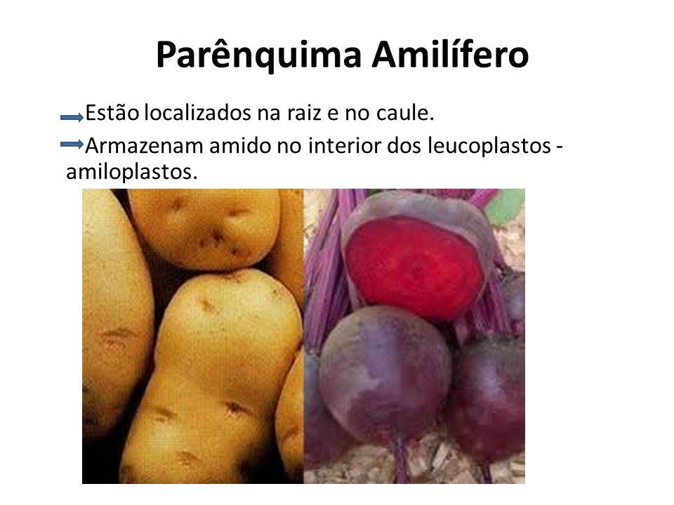 Parênquima Amilífero Estão localizados na raiz e no caule. Armazenam amido no interior dos leucoplastos - amiloplastos.