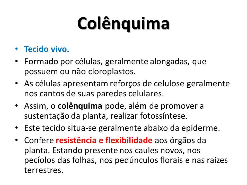 Colênquima Tecido vivo. Formado por células, geralmente alongadas, que possuem ou não cloroplastos. As células apresentam reforços de celulose geralme