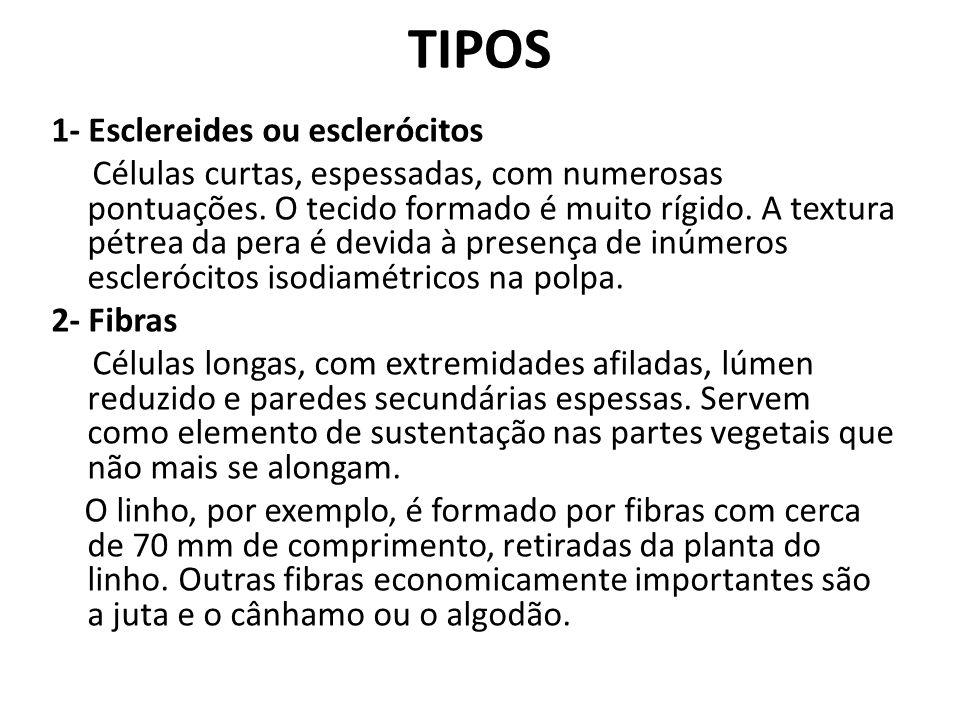 TIPOS 1- Esclereides ou esclerócitos Células curtas, espessadas, com numerosas pontuações. O tecido formado é muito rígido. A textura pétrea da pera é