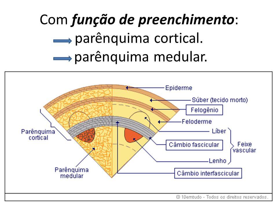 Com função de preenchimento: parênquima cortical. parênquima medular.