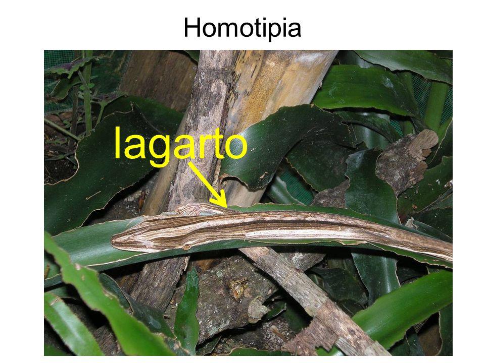Homotipia lagarto