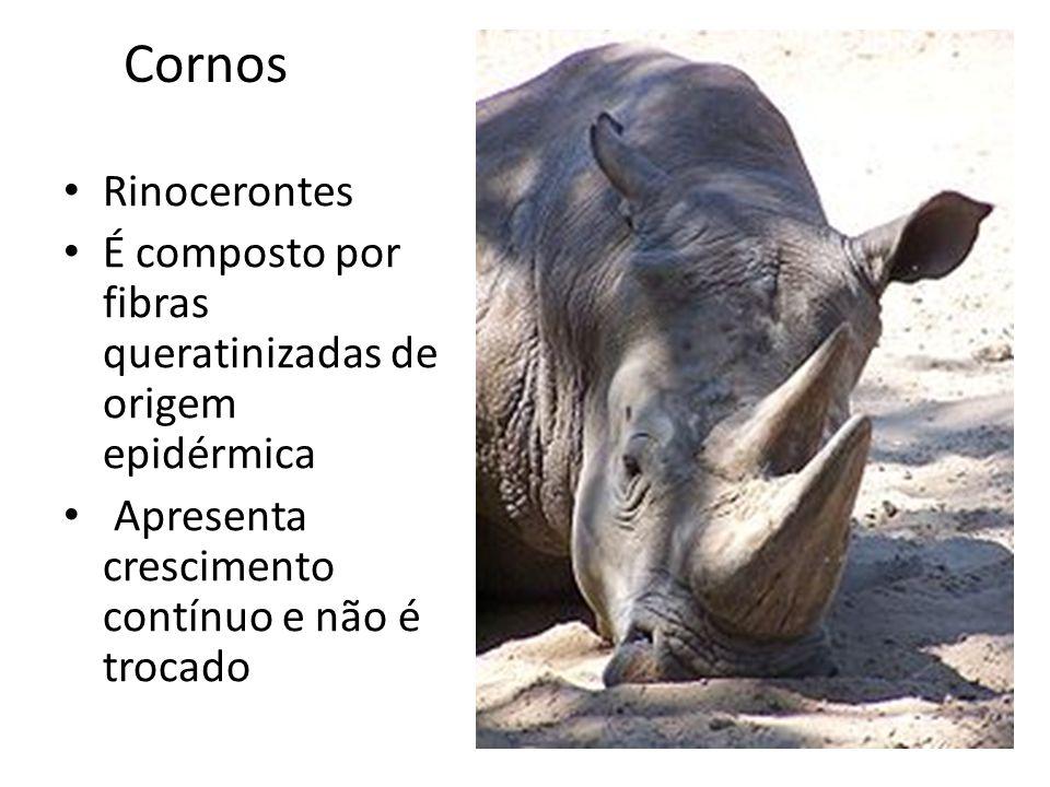 Cornos Rinocerontes É composto por fibras queratinizadas de origem epidérmica Apresenta crescimento contínuo e não é trocado
