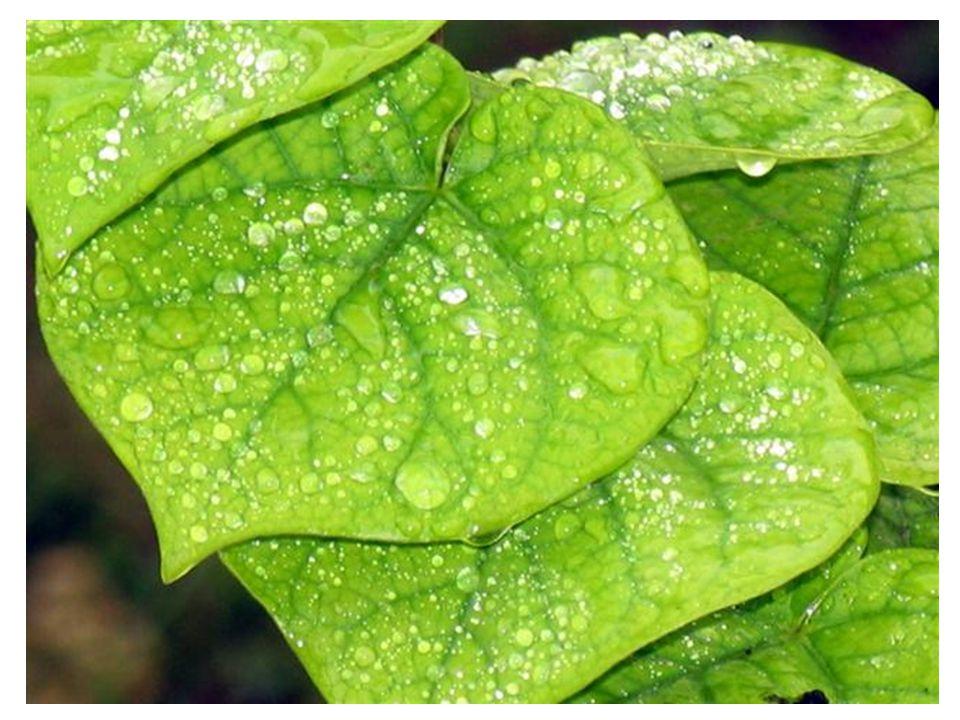 Plantas Xeromórficas Restrição das folhas e dos espaços intercelulares.