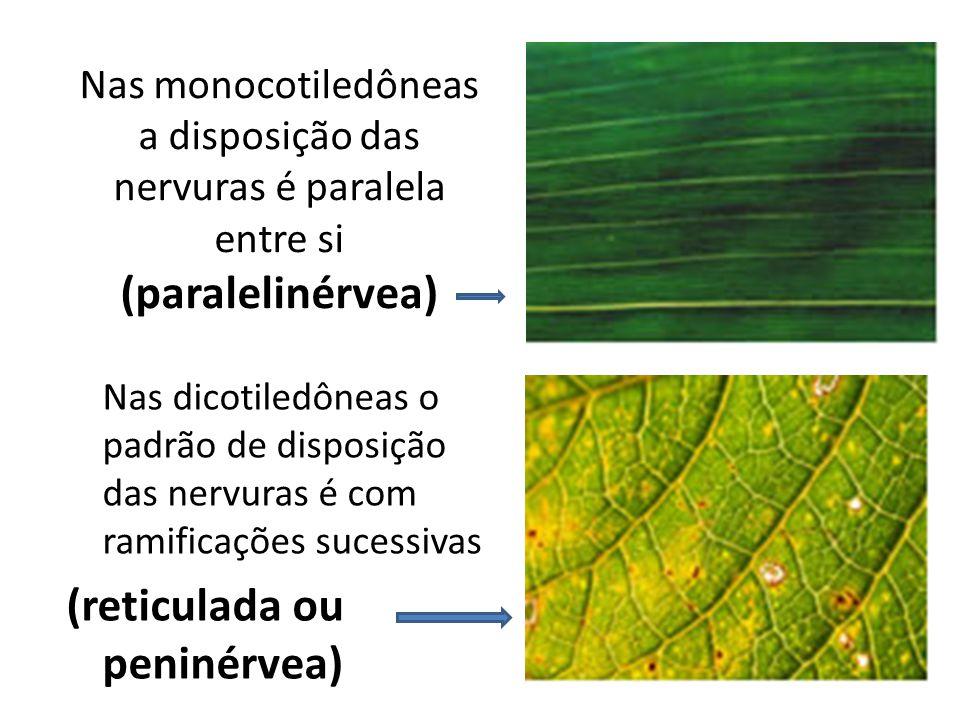 Nas monocotiledôneas a disposição das nervuras é paralela entre si (paralelinérvea) Nas dicotiledôneas o padrão de disposição das nervuras é com ramif