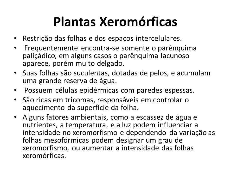 Plantas Xeromórficas Restrição das folhas e dos espaços intercelulares. Frequentemente encontra-se somente o parênquima paliçádico, em alguns casos o