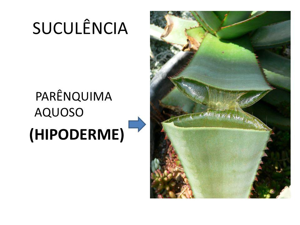 SUCULÊNCIA PARÊNQUIMA AQUOSO (HIPODERME)