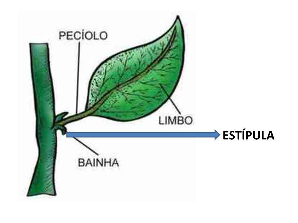 Folhas Higromórficas Com grande superfície no limbo Só possuem o parênquima lacunoso.