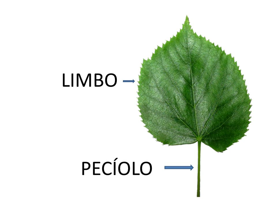 LIMBO PECÍOLO