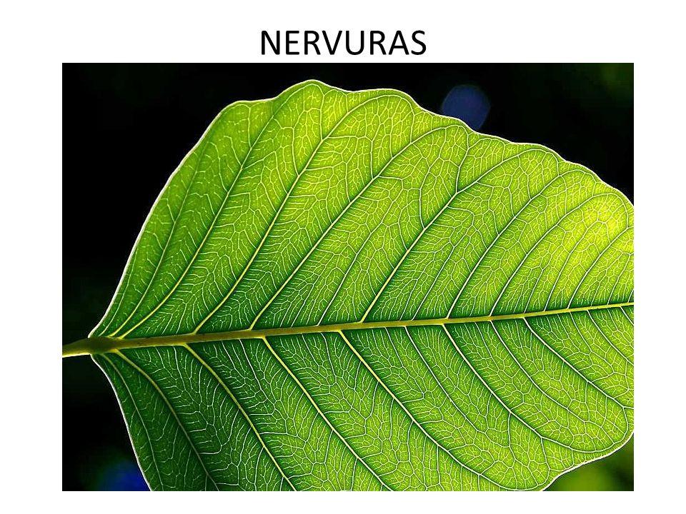 Folhas mesomórficas As características das folhas mesomórficas fazem a mediação entre as xeromórficas e higromórficas.