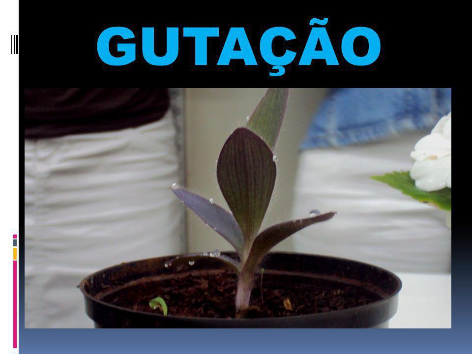 GUTAÇÃO GUTAÇÃO