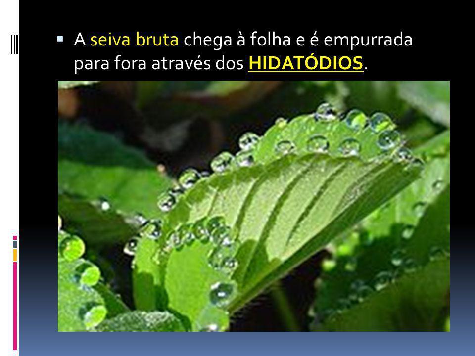 HIDATÓDIOS A seiva bruta chega à folha e é empurrada para fora através dos HIDATÓDIOS.
