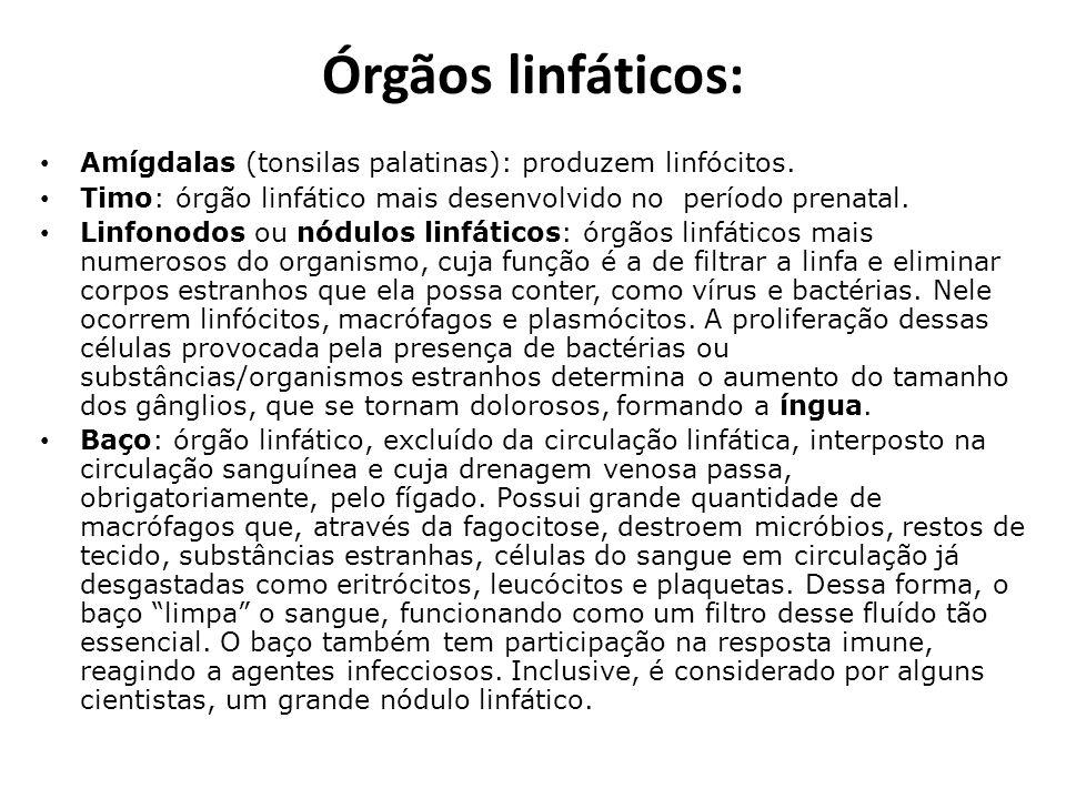 Órgãos linfáticos: Amígdalas (tonsilas palatinas): produzem linfócitos. Timo: órgão linfático mais desenvolvido no período prenatal. Linfonodos ou nód