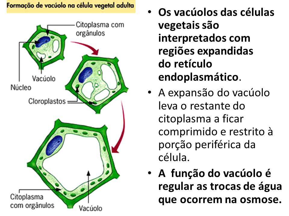 Os vacúolos das células vegetais são interpretados com regiões expandidas do retículo endoplasmático. A expansão do vacúolo leva o restante do citopla