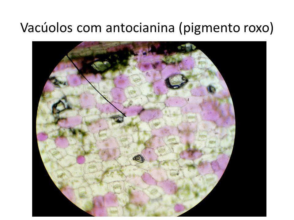 Vacúolos com antocianina (pigmento roxo)