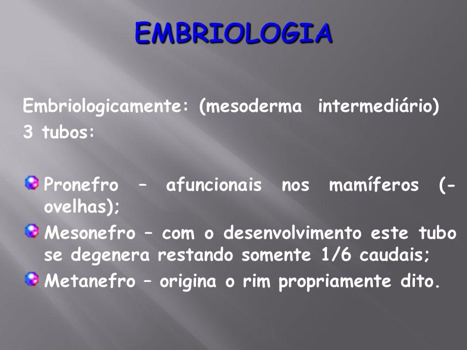 Embriologicamente: (mesoderma intermediário) 3 tubos: Pronefro – afuncionais nos mamíferos (- ovelhas); Mesonefro – com o desenvolvimento este tubo se