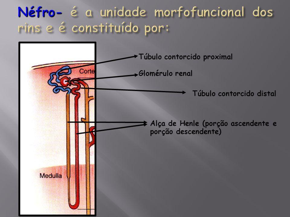 Túbulo contorcido proximal Glomérulo renal Túbulo contorcido distal Alça de Henle (porção ascendente e porção descendente)