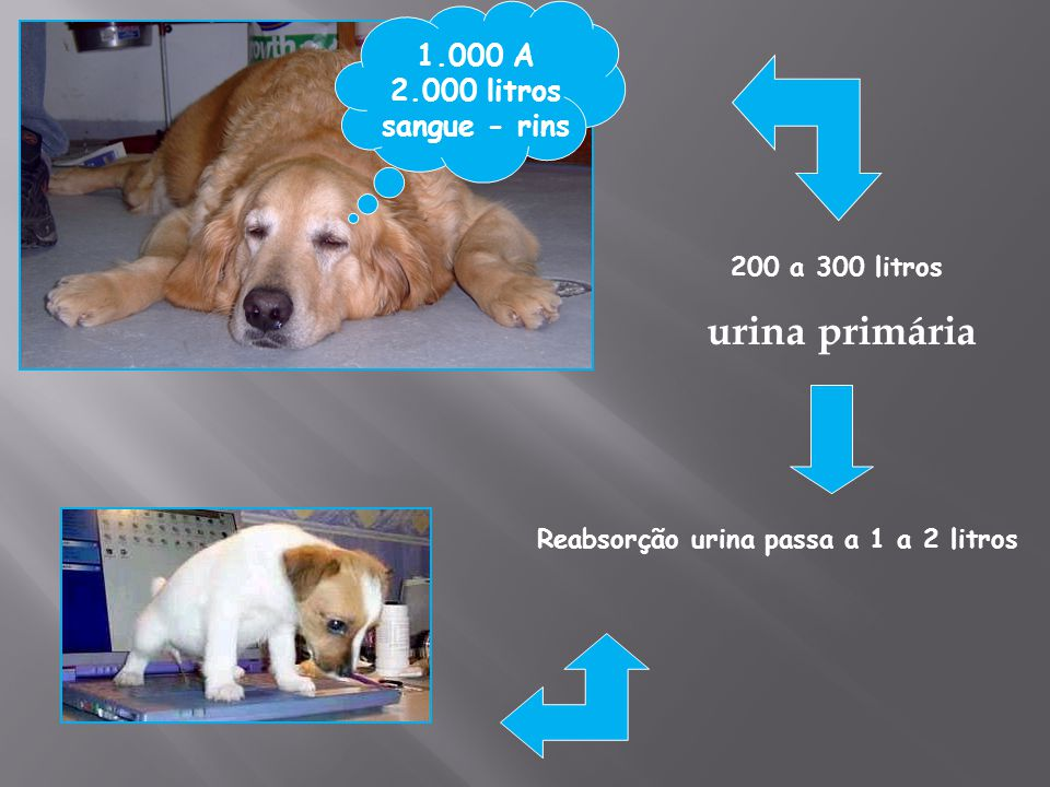 1.000 A 2.000 litros sangue - rins 200 a 300 litros urina primária Reabsorção urina passa a 1 a 2 litros