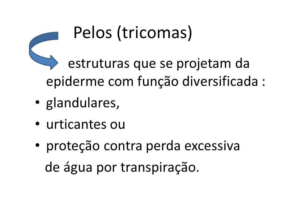 Pelos (tricomas) estruturas que se projetam da epiderme com função diversificada : glandulares, urticantes ou proteção contra perda excessiva de água