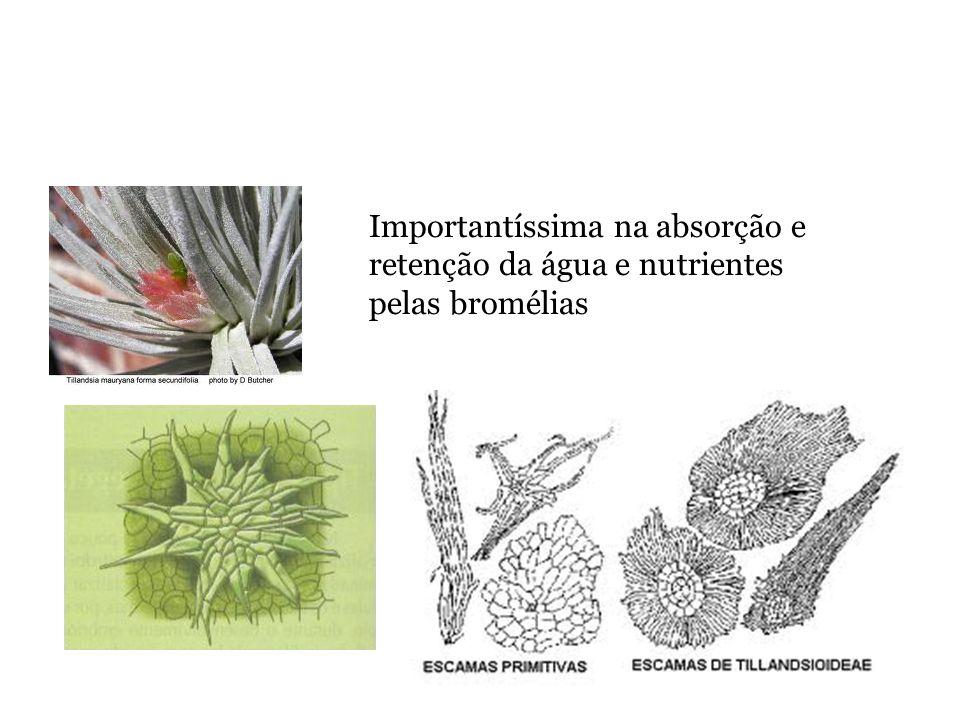 Importantíssima na absorção e retenção da água e nutrientes pelas bromélias