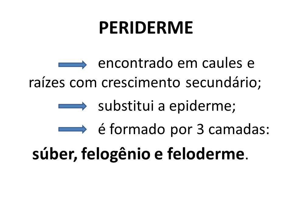 PERIDERME encontrado em caules e raízes com crescimento secundário; substitui a epiderme; é formado por 3 camadas: súber, felogênio e feloderme.