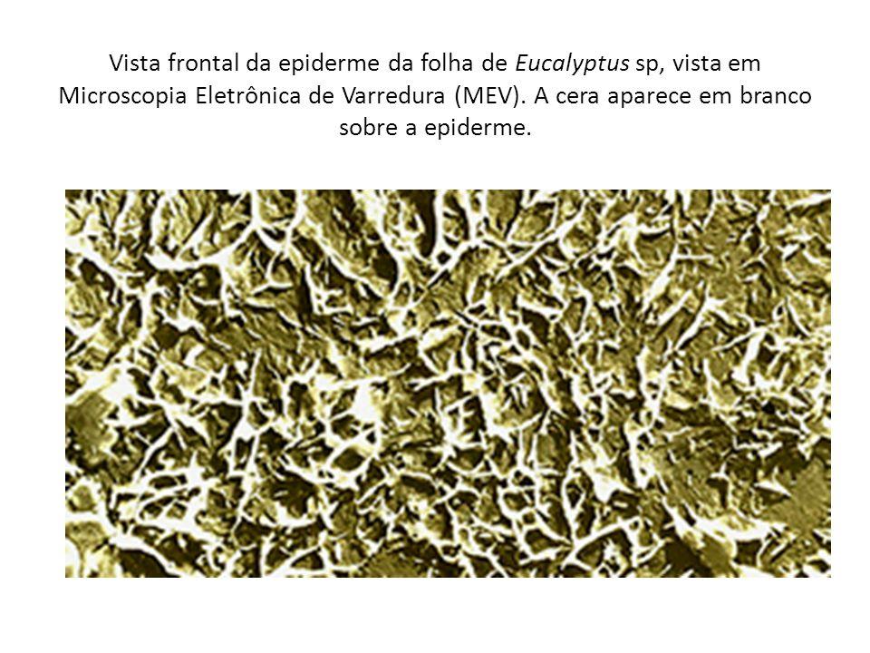 Vista frontal da epiderme da folha de Eucalyptus sp, vista em Microscopia Eletrônica de Varredura (MEV). A cera aparece em branco sobre a epiderme.
