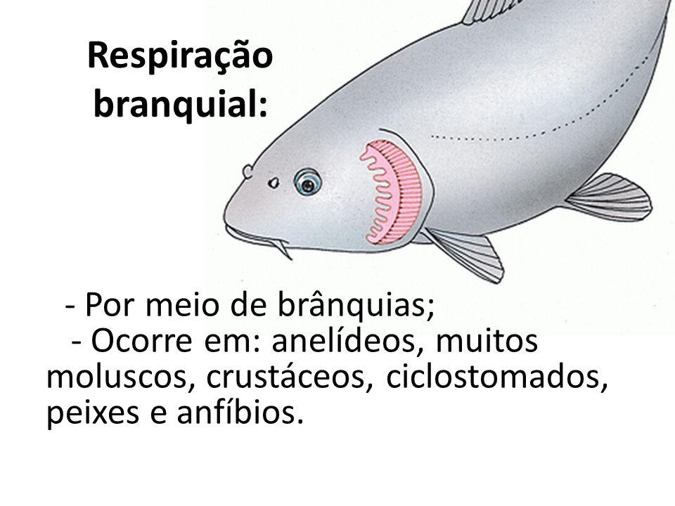 Respiração branquial: - Por meio de brânquias; - Ocorre em: anelídeos, muitos moluscos, crustáceos, ciclostomados, peixes e anfíbios.