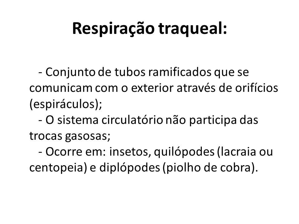 Respiração traqueal: - Conjunto de tubos ramificados que se comunicam com o exterior através de orifícios (espiráculos); - O sistema circulatório não