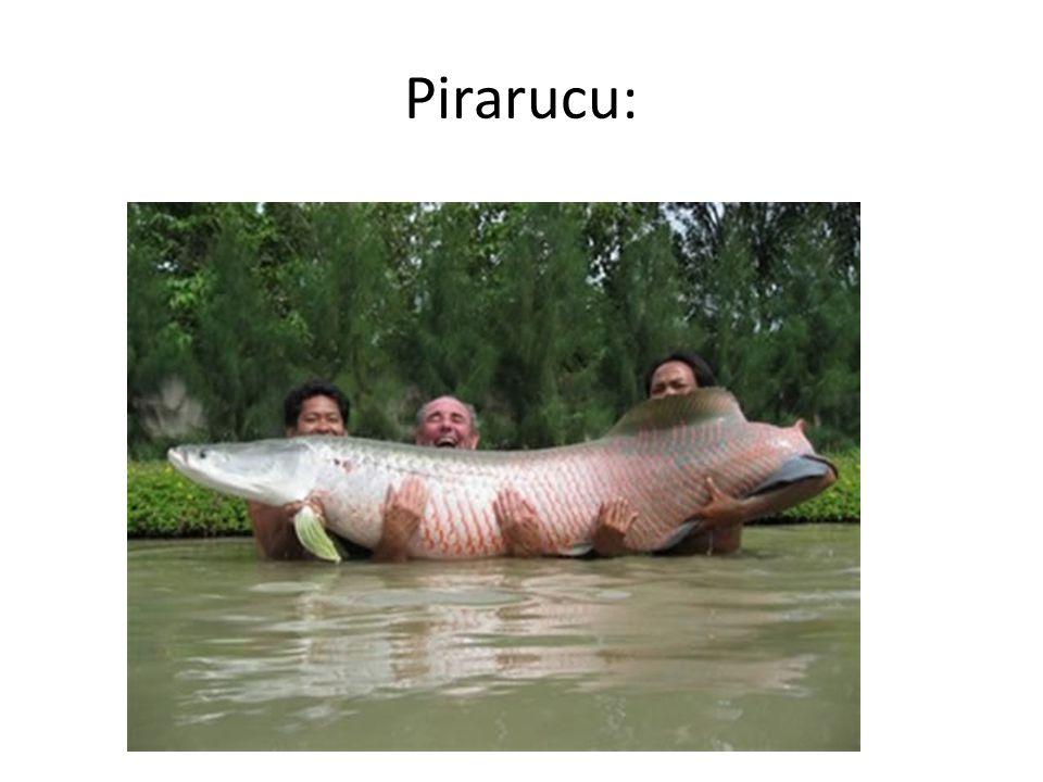 Pirarucu:
