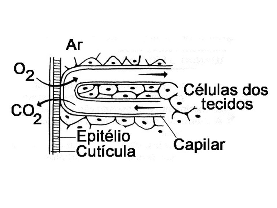 Cefalocordados - anfioxo