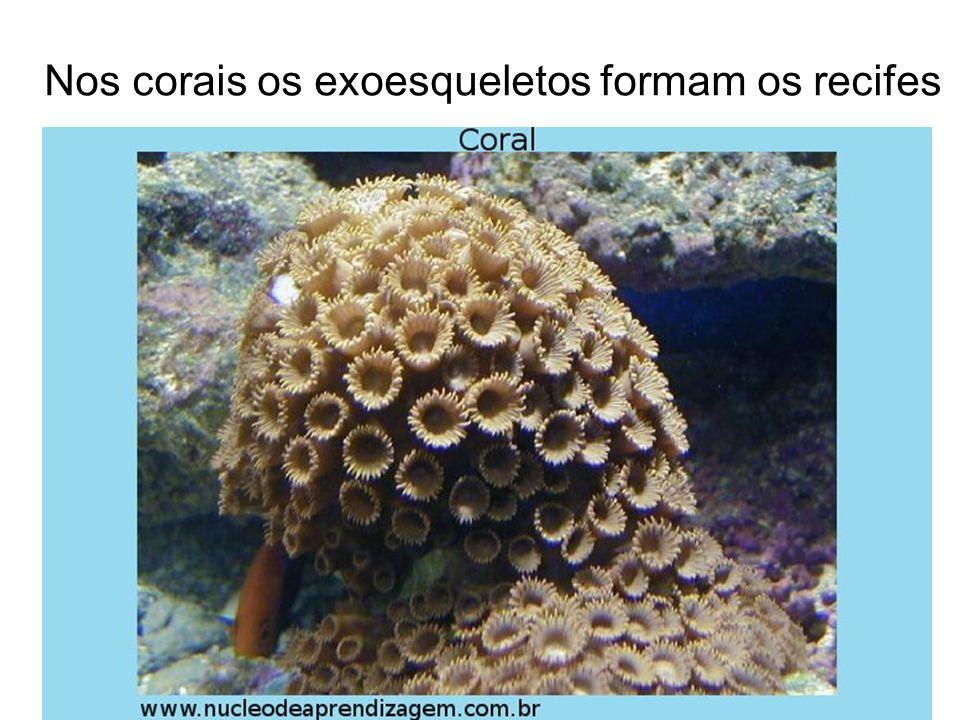 Nos corais os exoesqueletos formam os recifes
